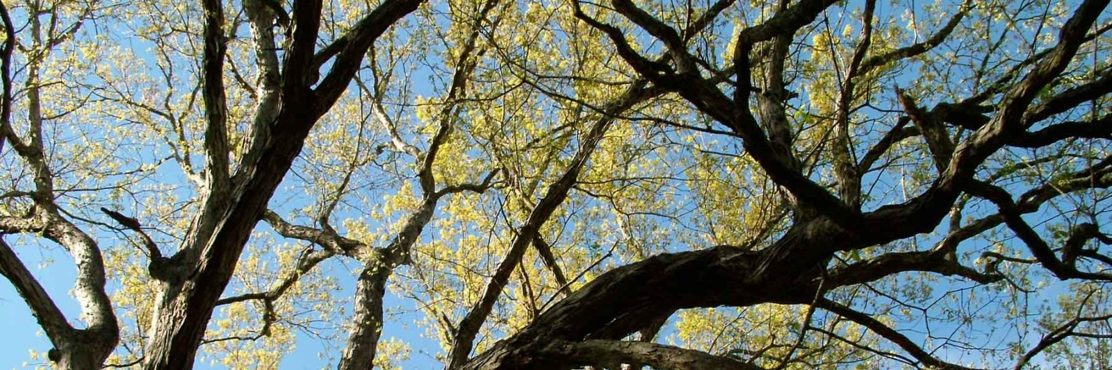 Spring-Oak