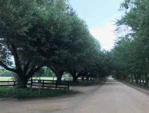 The magnificent live oaks along Mead Avenue